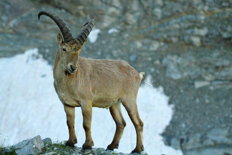 Cabra de montaña imagen de archivo