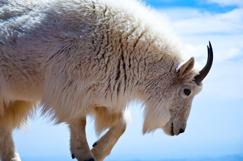 Cabra de montaña imágenes de archivo libres de regalías