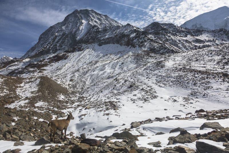 Cabra de montaña alpina joven del cabra montés en las rocas en los prados, soporte Blanc, Francia foto de archivo