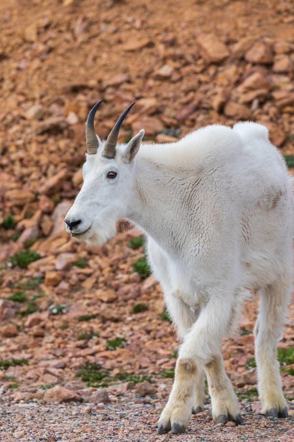 Cabra de montaña Billy imagen de archivo