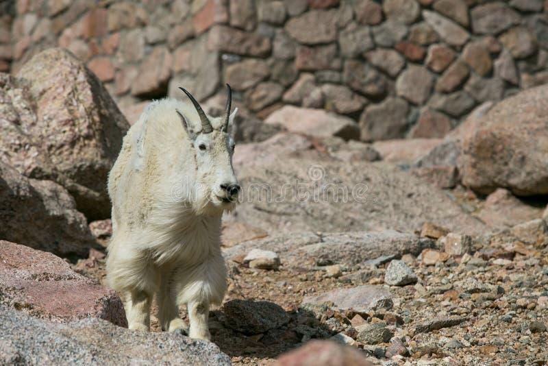 Cabra de montaña blanca imágenes de archivo libres de regalías