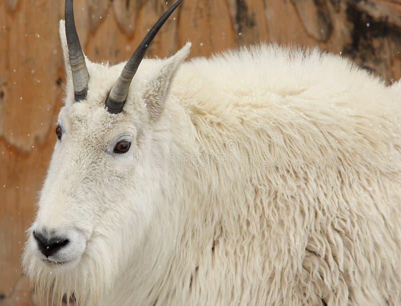 Cabra de montaña blanca en la nieve fotos de archivo