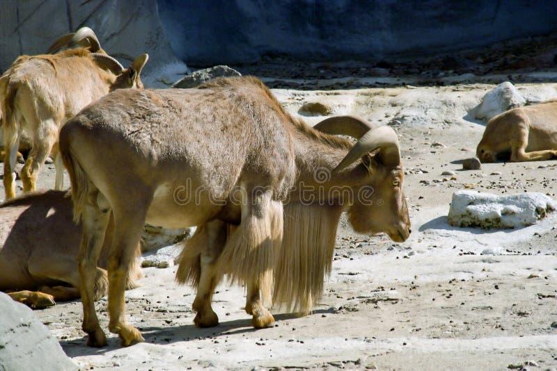 Cabra de montaña con los claxones foto de archivo