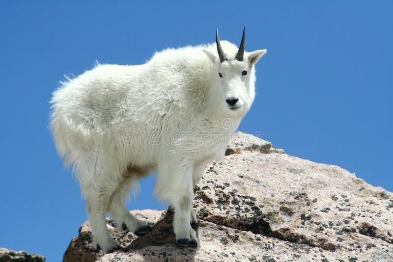 Cabra de montaña contra un cielo azul claro fotos de archivo libres de regalías