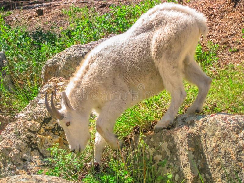 Cabra de montaña Dakota del Sur fotos de archivo