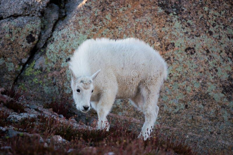 Cabra de montaña de Colorado imagen de archivo libre de regalías