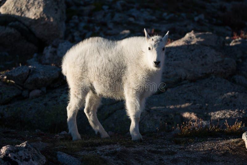 Cabra de montaña de Colorado imágenes de archivo libres de regalías