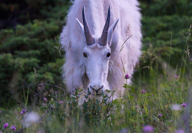 Cabra de montaña de las montañas rocosas imagen de archivo libre de regalías