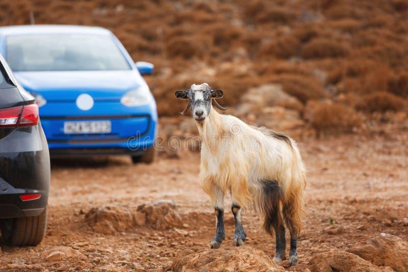 Cabra de montaña en el estacionamiento fotografía de archivo