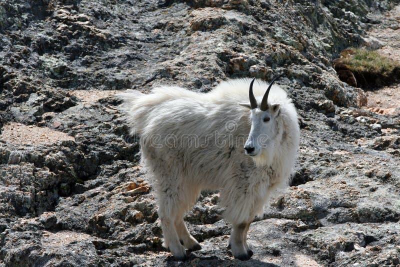 Cabra de montaña en el pico de Harney fotos de archivo libres de regalías