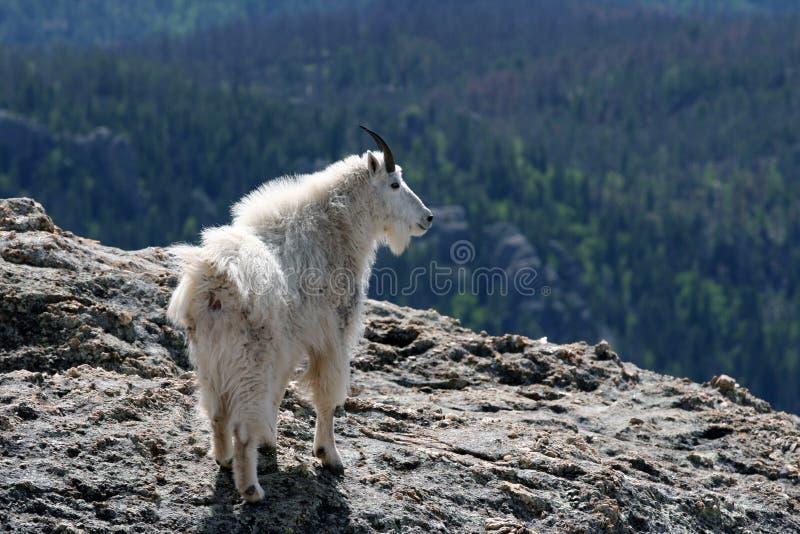 Cabra de montaña en el pico de Harney que pasa por alto el Black Hills de Dakota del Sur los E.E.U.U. fotos de archivo