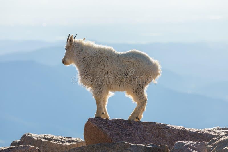 Cabra de montaña en roca foto de archivo