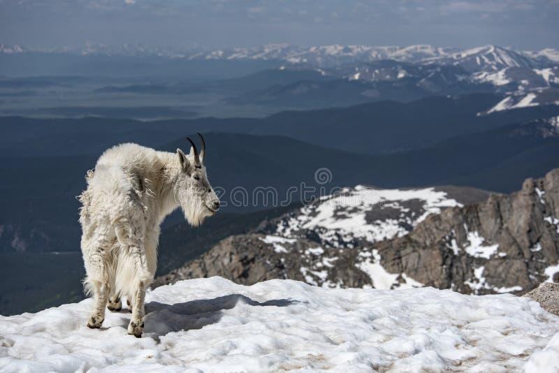 Cabra de montaña en un campo cubierto hielo en el Mt Evans, Colorado foto de archivo libre de regalías