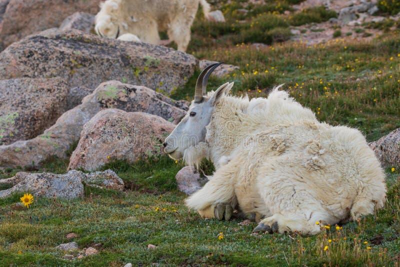 Cabra de montaña en verano imagen de archivo libre de regalías