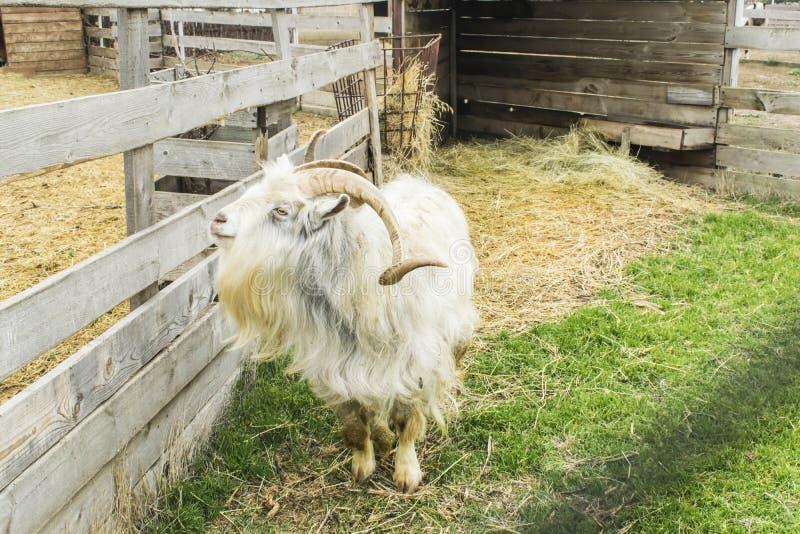 Cabra de montaña Hay mucho heno alrededor de la cabra fotografía de archivo