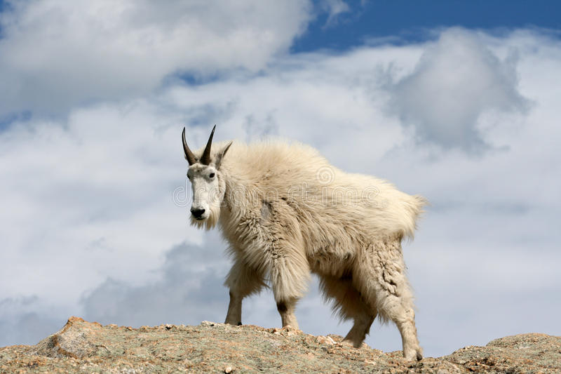 Cabra de montaña que camina encima del pico de Harney que pasa por alto el Black Hills de Dakota del Sur los E.E.U.U. fotografía de archivo libre de regalías