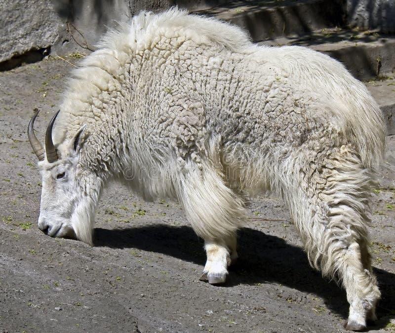 Cabra de montaña rocosa 5 foto de archivo