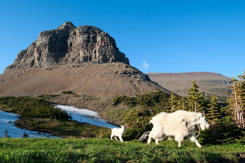 Download Cabra de montanha imagem de stock. Imagem de miúdo, montanha - 10055381