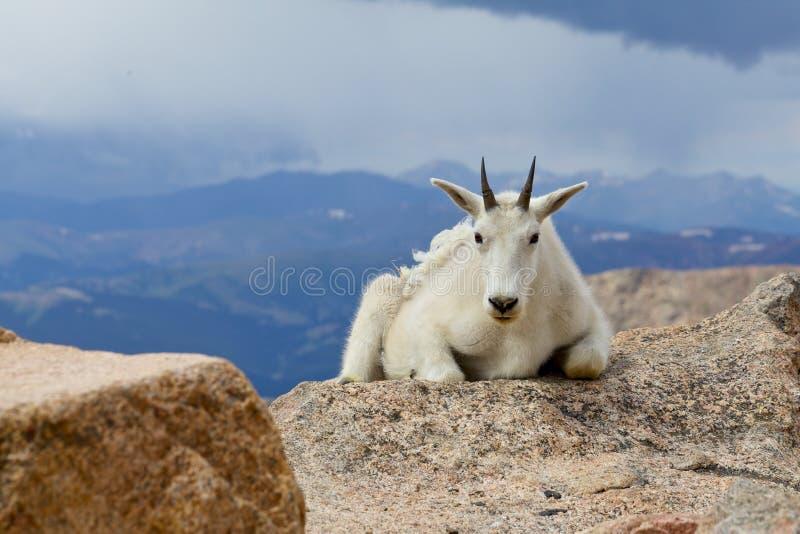 Cabra de montanha imagem de stock