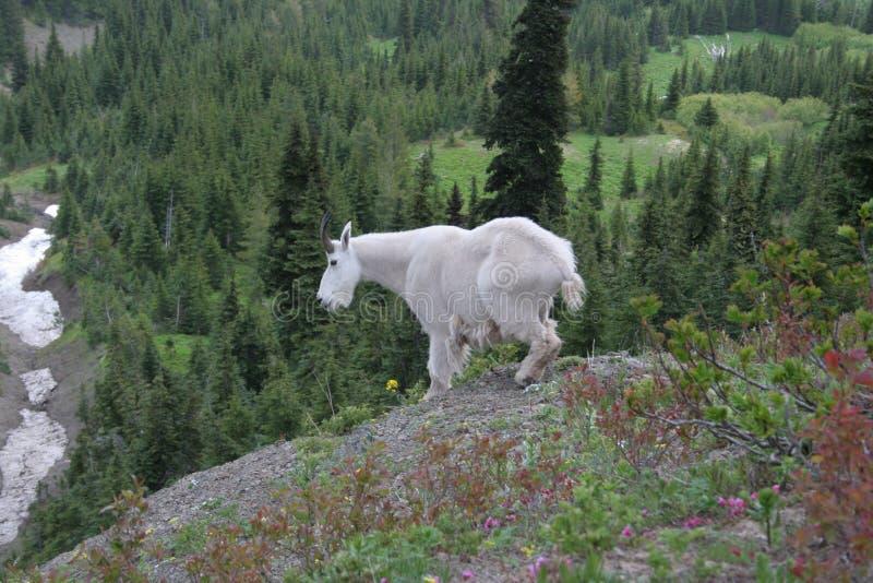 Cabra de montanha fotografia de stock