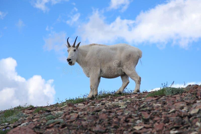 Cabra de montanha curiosa imagens de stock royalty free