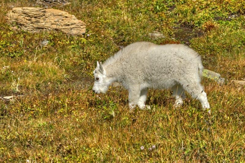 Cabra de montanha da criança no parque nacional de geleira fotos de stock royalty free