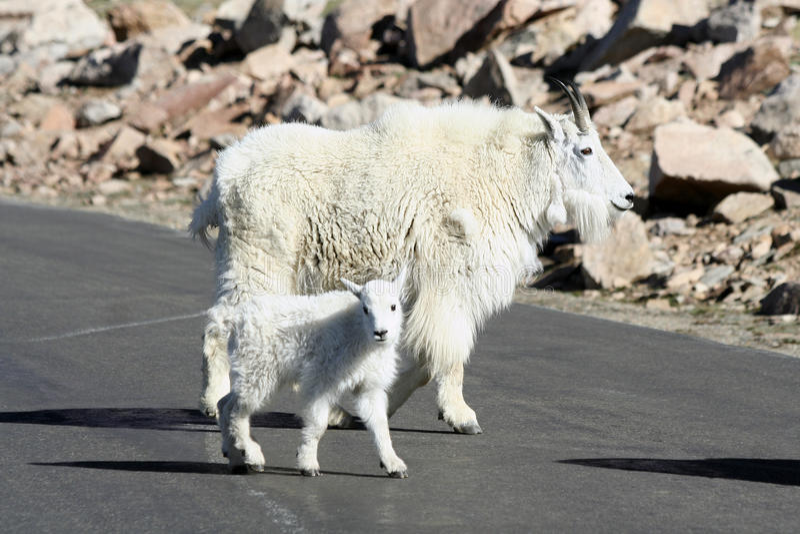 Cabra de montanha da matriz e do bebê fotografia de stock royalty free