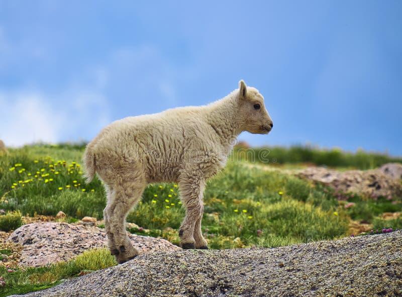 Cabra de montanha de Colorado do bebê fotografia de stock