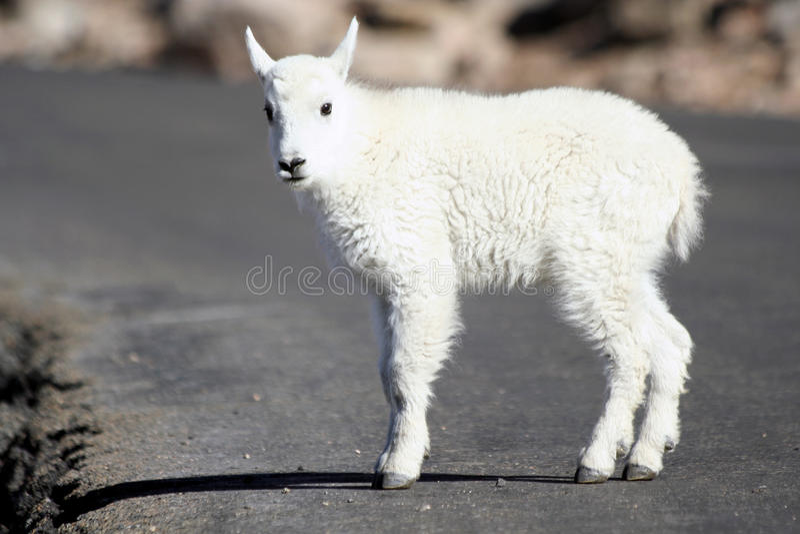 Cabra de montanha do bebê fotos de stock