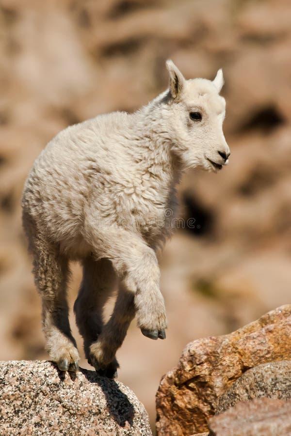 Cabra de montanha do bebê fotografia de stock royalty free