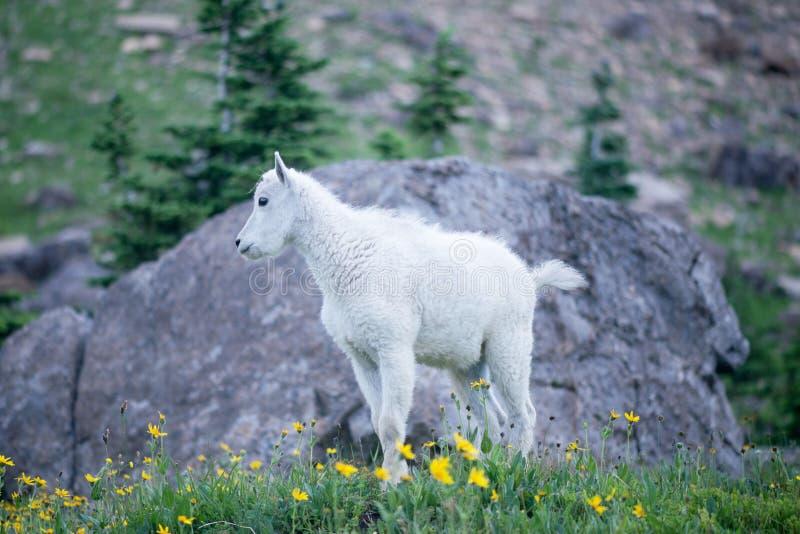 Cabra de montanha do bebê fotografia de stock