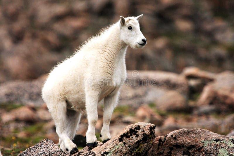 Cabra de montanha do bebê em Mt evans fotos de stock