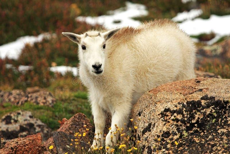 Cabra de montanha do bebê em Mt evans foto de stock