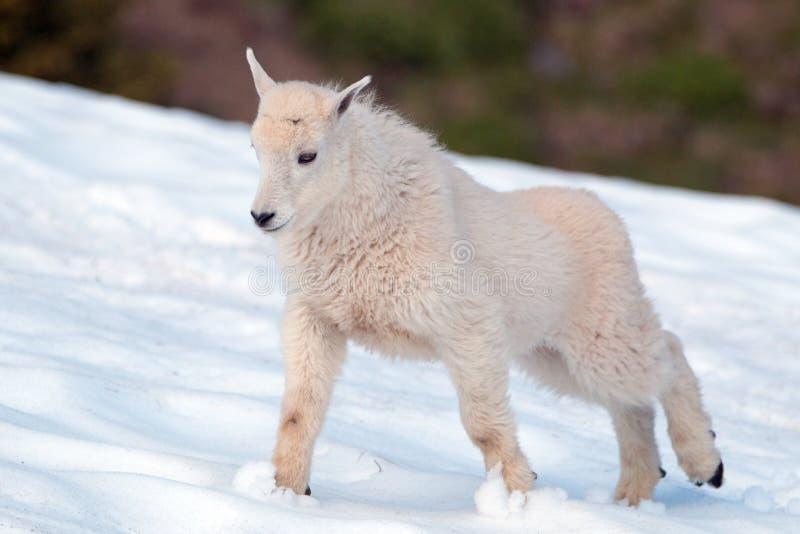 Cabra de montanha do bebê que estica no snowfield olímpico do parque nacional em Washington State imagens de stock royalty free
