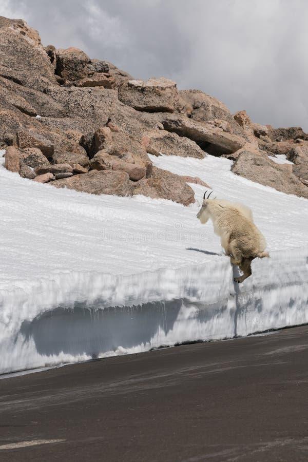 Cabra de montanha em Colorado fotos de stock royalty free