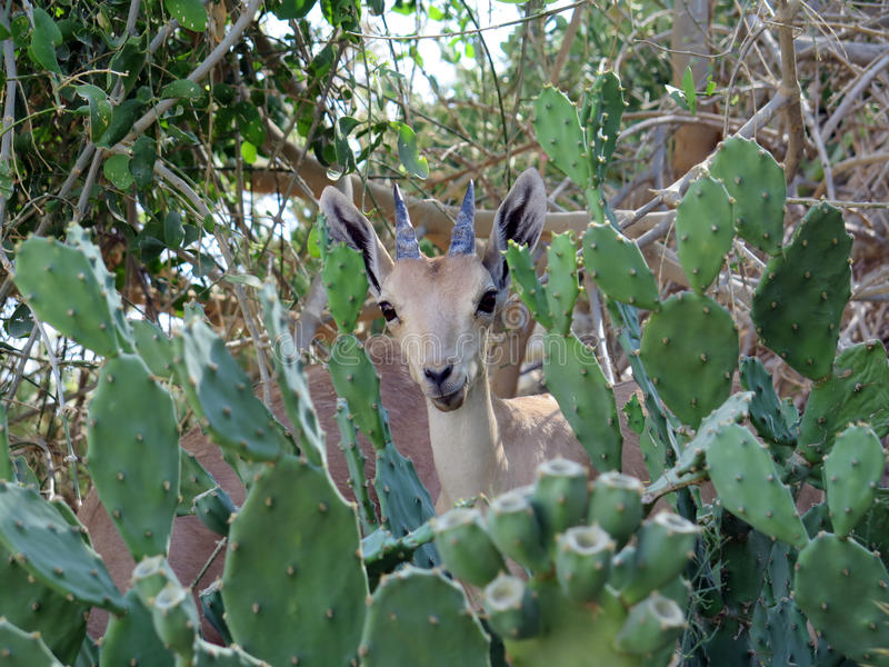 Cabra de montanha em En Gedi, Israel fotos de stock