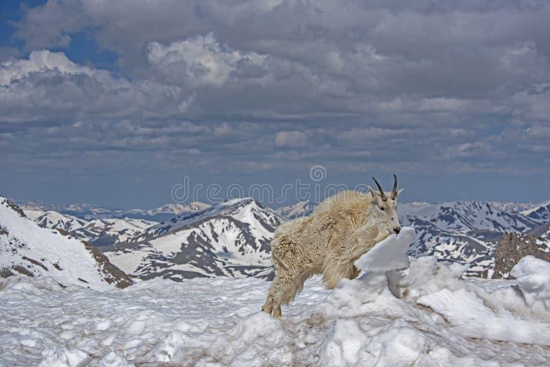 Cabra de montanha em um campo coberto gelo no Mt Evans, Colorado fotos de stock royalty free
