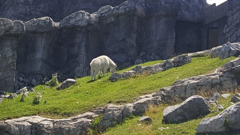 Cabra de montanha majestosa fotos de stock