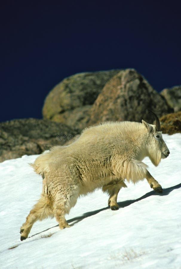 Cabra de montanha masculina fotografia de stock royalty free