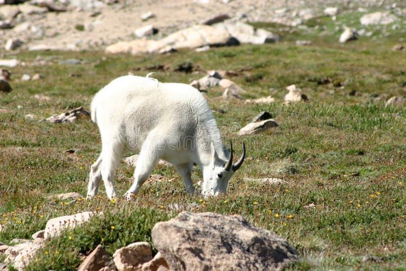 Cabra de montanha masculina da ram que alimenta em um prado gramíneo sobre um mo fotos de stock