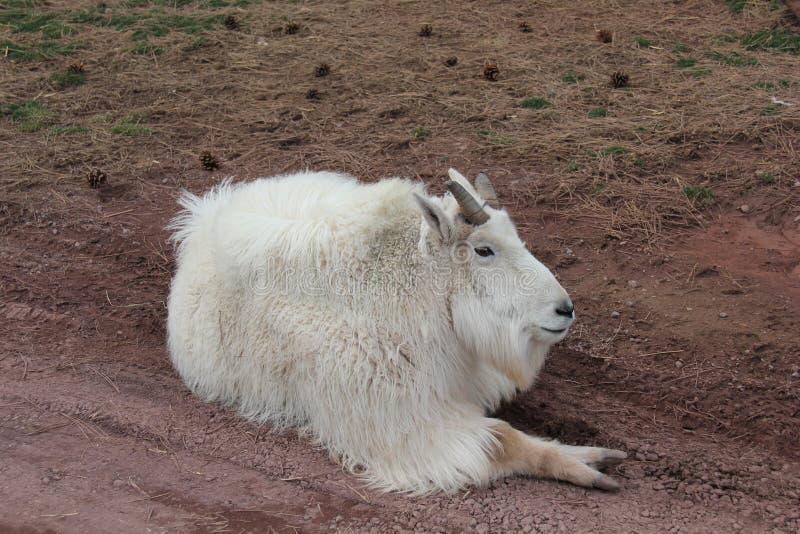 Cabra de montanha que coloca na terra fotos de stock