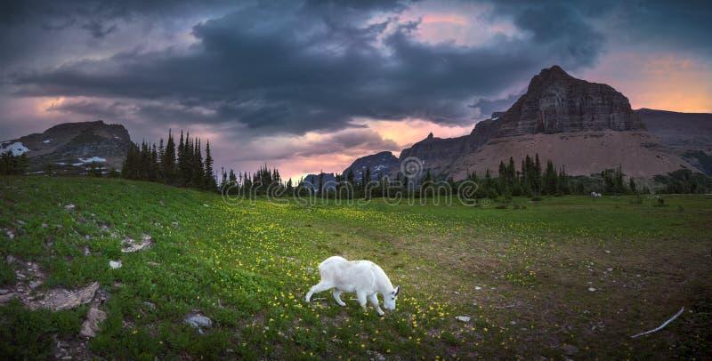 Cabra de montanha que come a grama no parque nacional de geleira imagem de stock