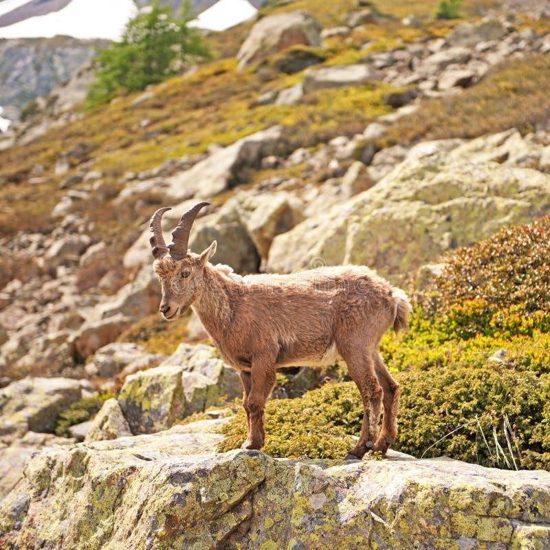Cabra de montanha selvagem - íbex do Capra fotografia de stock