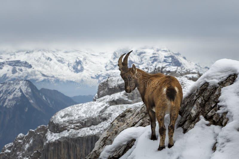 Cabra de montanha selvagem foto de stock royalty free