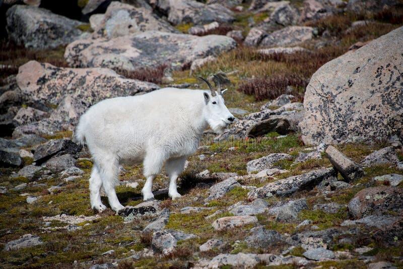 Cabra de montanha selvagem na montagem Evans imagens de stock royalty free