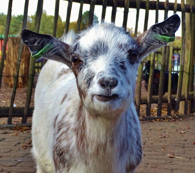Cabra de sorriso foto de stock royalty free