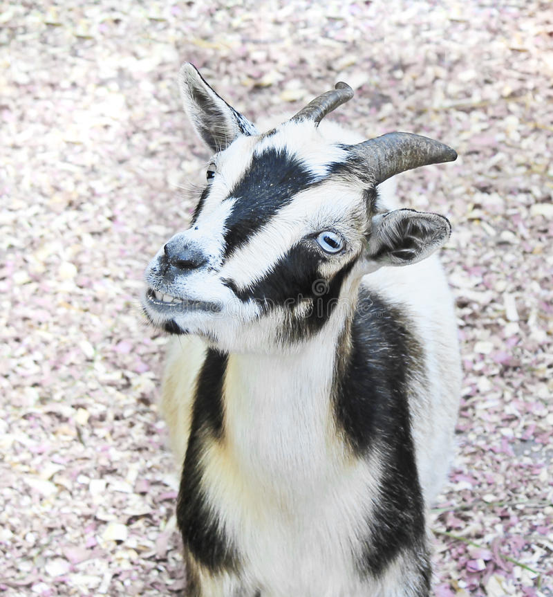 Cabra de sorriso com olhos azuis fotos de stock royalty free