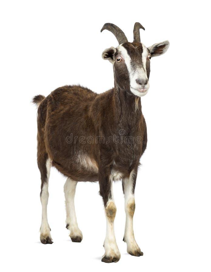 Cabra de Toggenburg que olha afastado contra o fundo branco imagem de stock