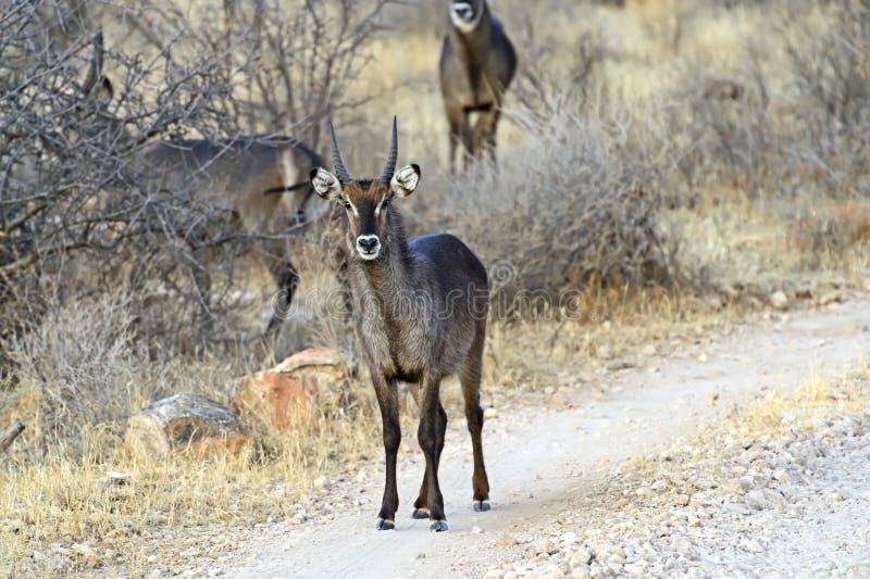 Download Cabra del agua imagen de archivo. Imagen de áfrica, animales - 44851591