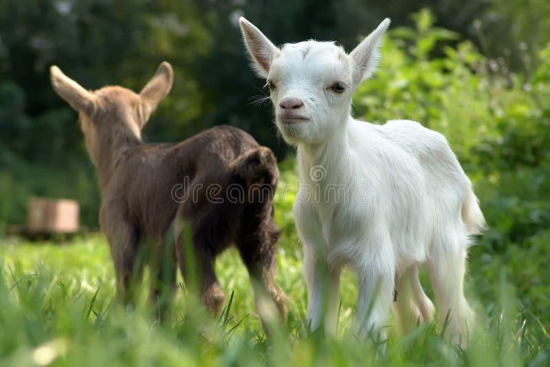 Download Cabra del bebé foto de archivo. Imagen de granja, hierba - 7281672